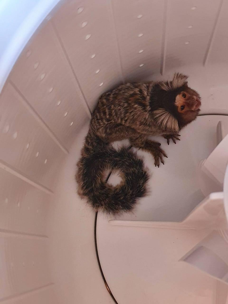 Vigilância Ambiental em Saúde resgata sagui-de-tufos-brancos